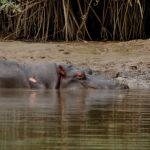 hippo-goed