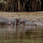 hippo-baboon
