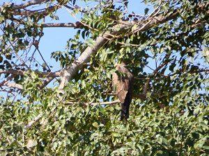 farasuto-hornbill