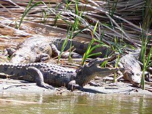 krokodillen-bakau-3